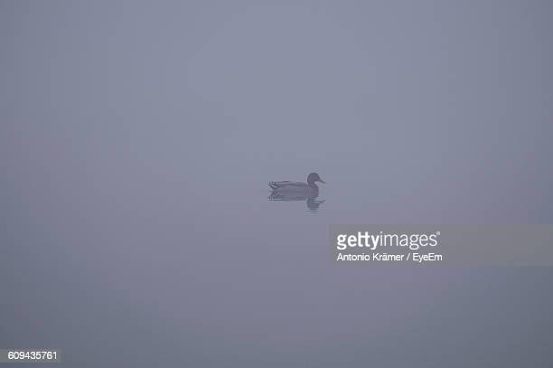 Duck Swimming On Pond In Foggy Weather