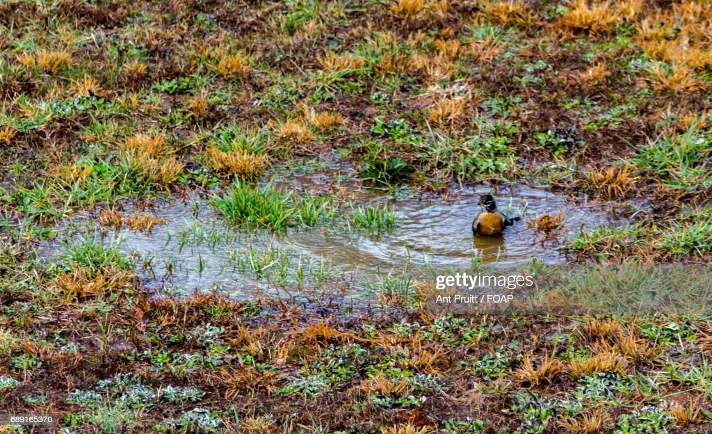 Duck swimming on puddle : Stock Photo