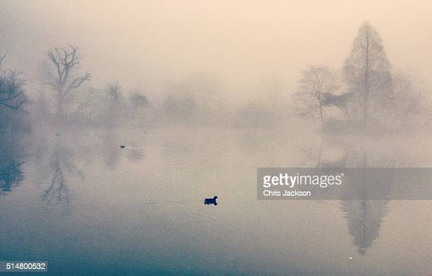 A duck swims across the pond as a low fog hangs over Wandsworth Common on March 11 2016 in London England