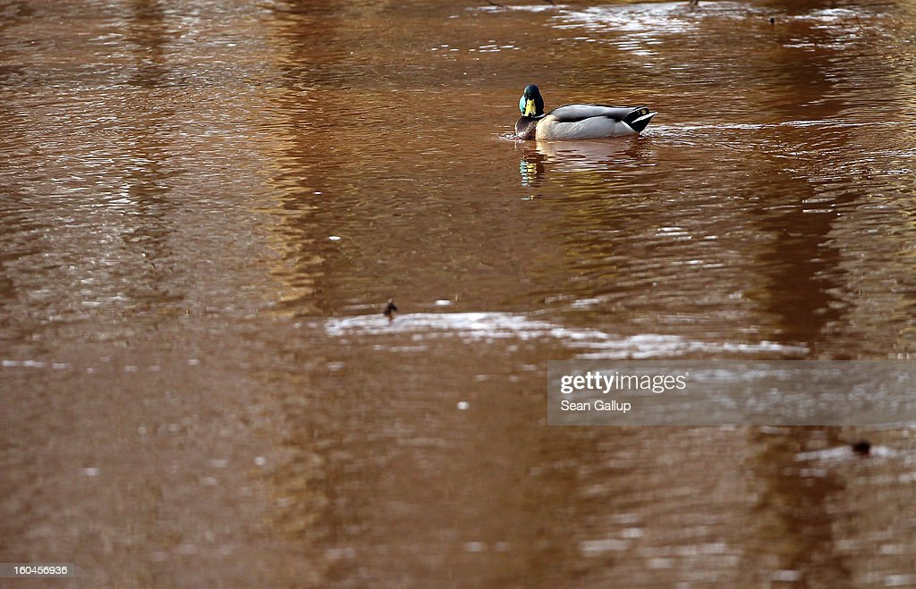A duck swims in water rich in iron and tinted dark orange in a small Spree river on January 31, 2013 in Vetschau, Germany. Many creeks and small rivers in the regions around Vetschau and Spremberg in eastern Germany have turned a distinctive red or dark orange following the closure of nearby open-pit coal mines. Geologists say that the returning gound water levels in the former mines is bringing iron-rich ore into the water, and though the sludge isn't poisonous, environmentalists are concerned over the long-term affects.