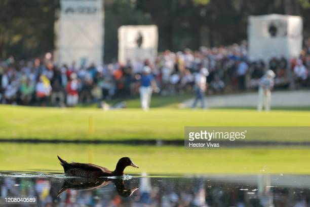 A duck swims on the pond next to the 17th green during the third round of the World Golf Championships Mexico Championship at Club de Golf...