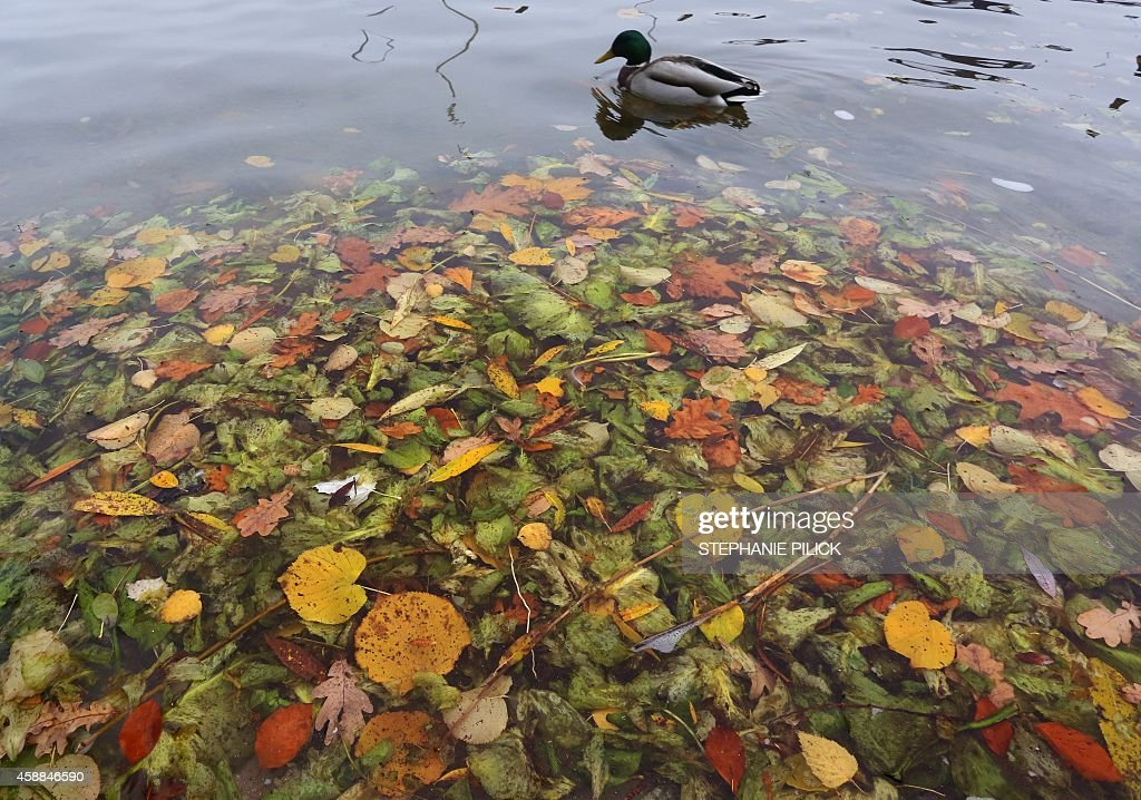 A duck swims past colored leaves at the Wannsee lake in Berlin on November 12, 2014.