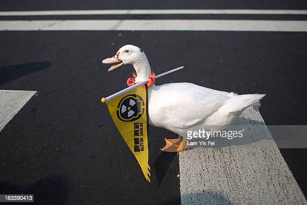 A duck walks with a flag reading ''No Nuke'' on its neck during an antinuclear rally on March 9 2013 in Taipei TaiwanTens of thousands of protesters...