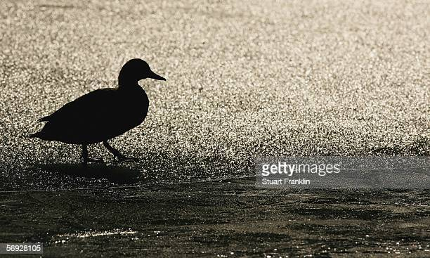 A duck wanders around on the pond at the Alter KurPark where a dead duck suspected of having bird flu was found on February 24 2006 in Timmendorfer...