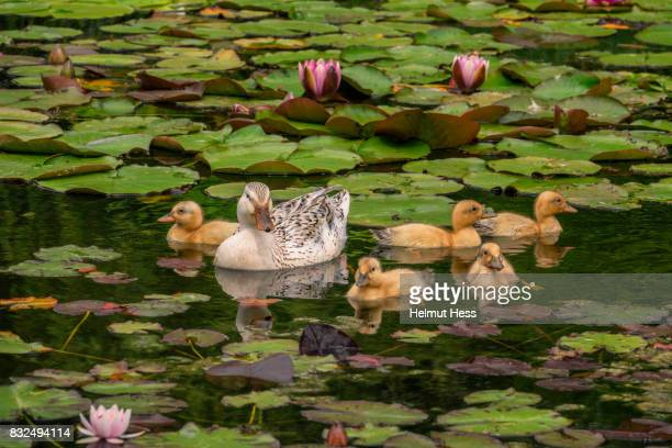 duck with baby chicken - water garden stock pictures, royalty-free photos & images