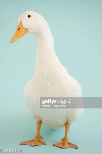 Duck with blue background
