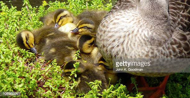 duck with ducklings on the grass - mishima city stock photos and pictures