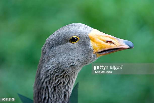 duck with green background - ryan mcginnis stock photos and pictures