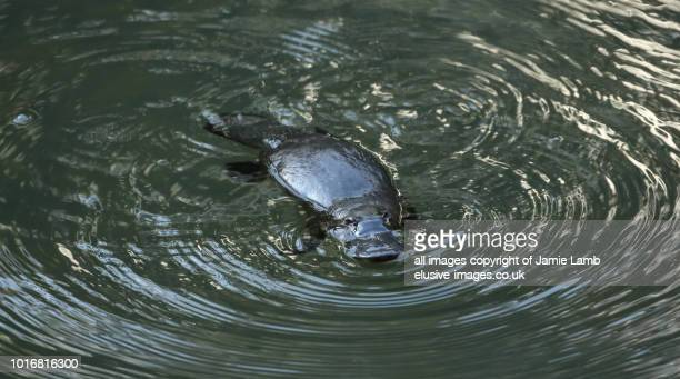 duck-billed platypus in the water, queensland - duck billed platypus stock pictures, royalty-free photos & images