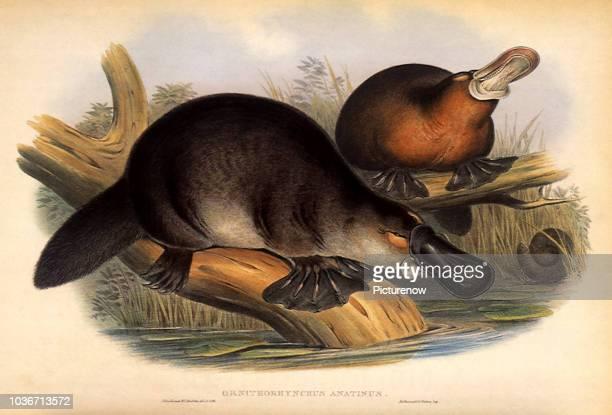 Duckbilled Platypus, Ornithorhynchus anatinus.