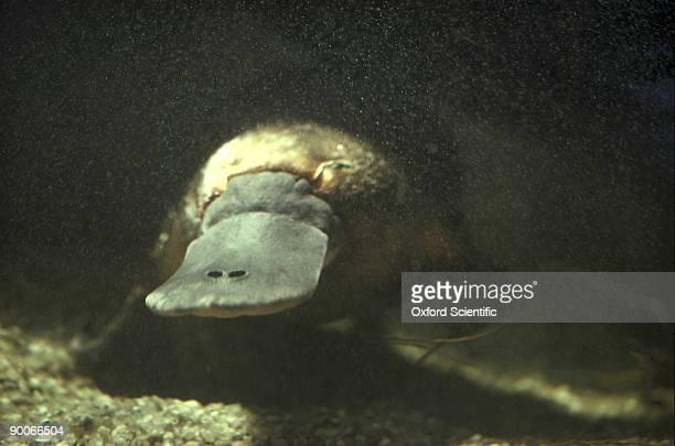 duck-billed platypus, ornithorhynchus anatinus, underwater