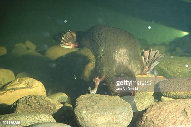 duck-billed platypus underwater - duck billed platypus stock pictures, royalty-free photos & images