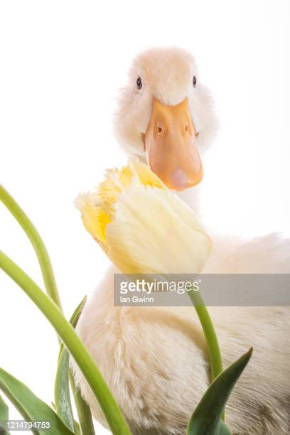 duckling and tulip_1 - ian gwinn photos et images de collection
