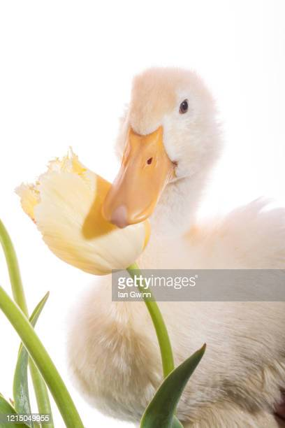 duckling and tulip_3 - ian gwinn photos et images de collection