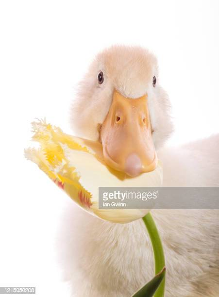 duckling and tulip_4 - ian gwinn photos et images de collection