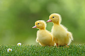 duckling four