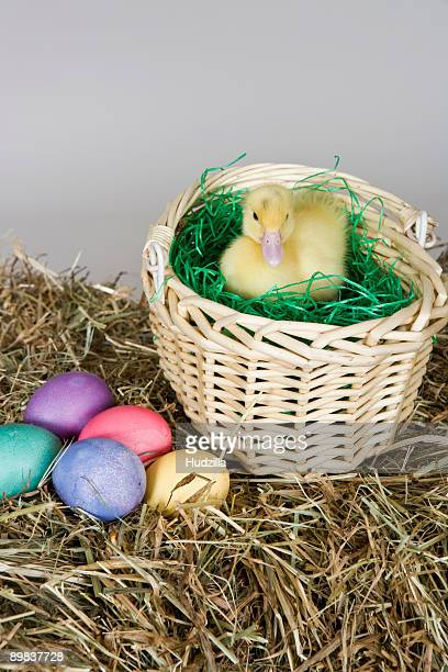 A duckling in an Easter basket, studio shot