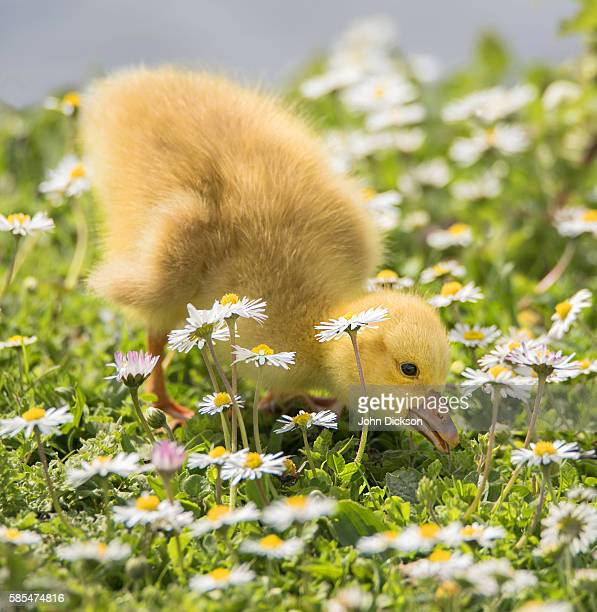 Duckling In Daisies