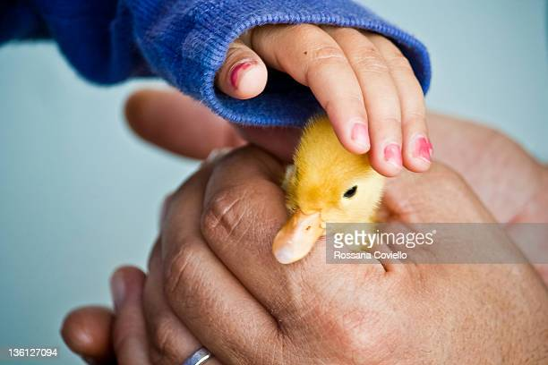 duckling in his hands - duckling stock pictures, royalty-free photos & images
