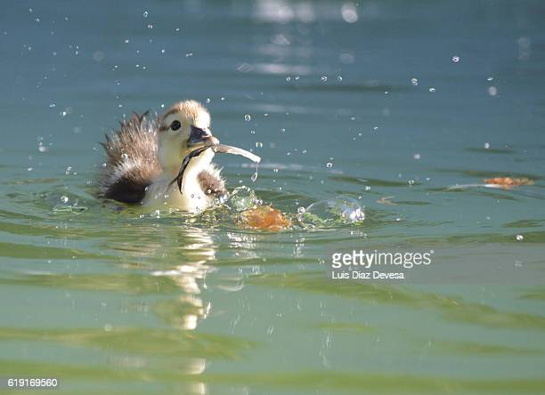 Duckling is pecking at a duck's feathers