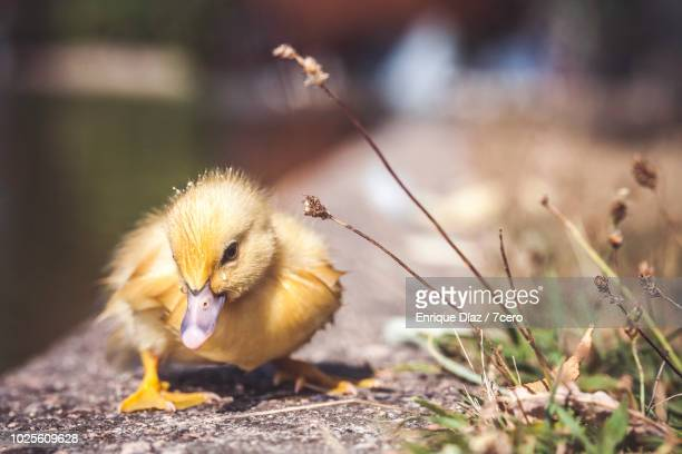 duckling on edge of pond in monte dos pozos, galicia, spain - young hairy pics stock photos and pictures