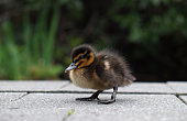 http://www.istockphoto.com/photo/duckling-gm858426528-141714327