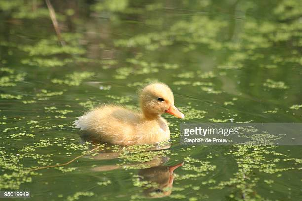 duckling - stephan de prouw stock pictures, royalty-free photos & images