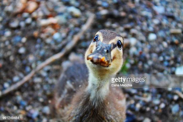 duckling - coati stock pictures, royalty-free photos & images
