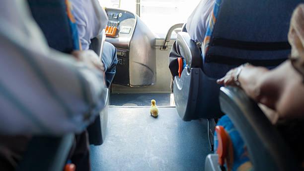 Duckling Rides Bus in Mexico