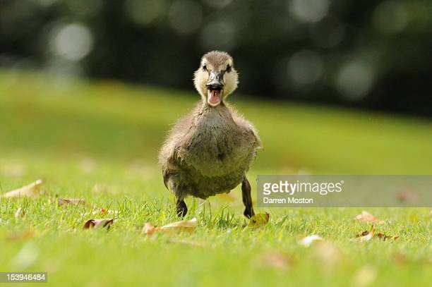 a duckling running - duckling stock pictures, royalty-free photos & images