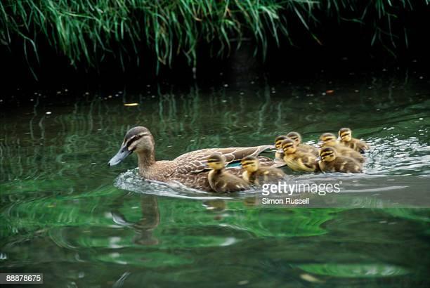 Ducklings follow their mother upstream