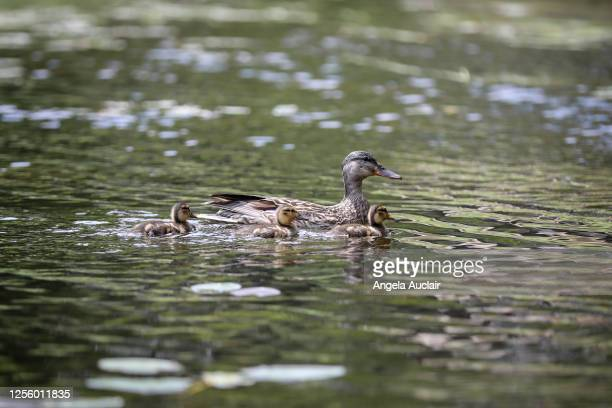 ducklings on a lake - angela auclair stock pictures, royalty-free photos & images
