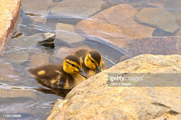 ducklings - mt hood national forest stock pictures, royalty-free photos & images