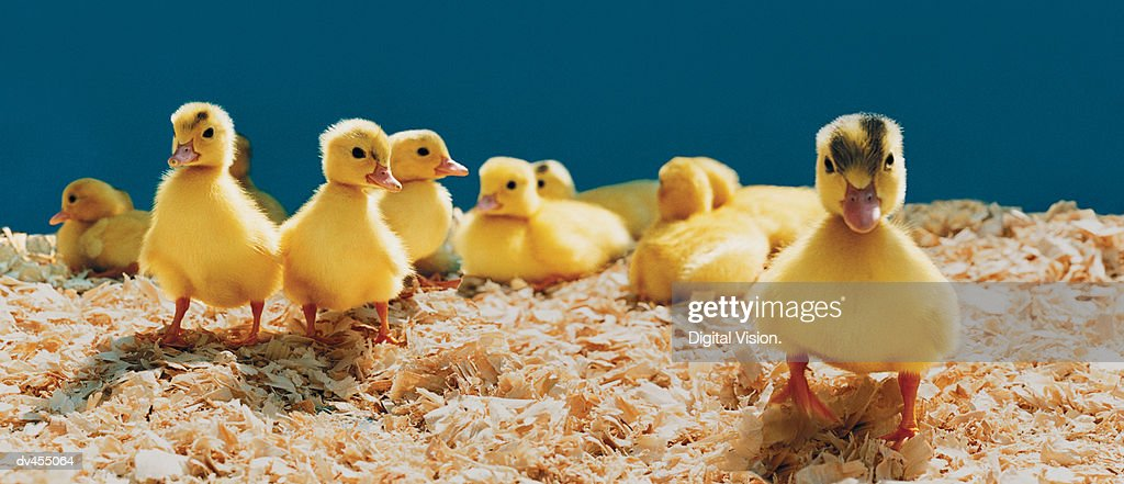 Ducklings : Stock Photo