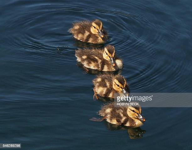 Ducklings swim in a row in Echo Park Lake during the 36th annual Lotus Festival which celebrates the annual lotus blooms and the contributions of...