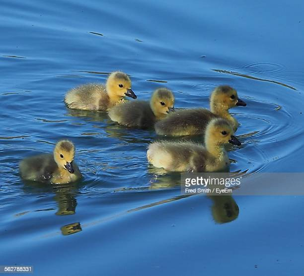 Ducklings Swimming In Lake