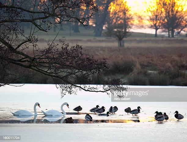 ducks and swans rest in a frozen pond. - alex saberi fotografías e imágenes de stock