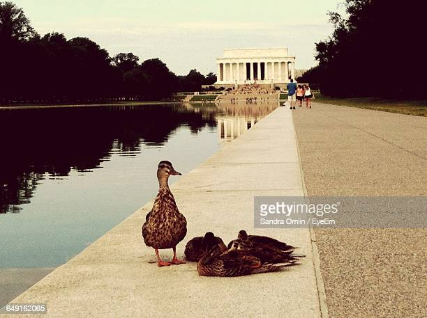Ducks By Reflecting Pool With People Walking Towards Lincoln Memorial
