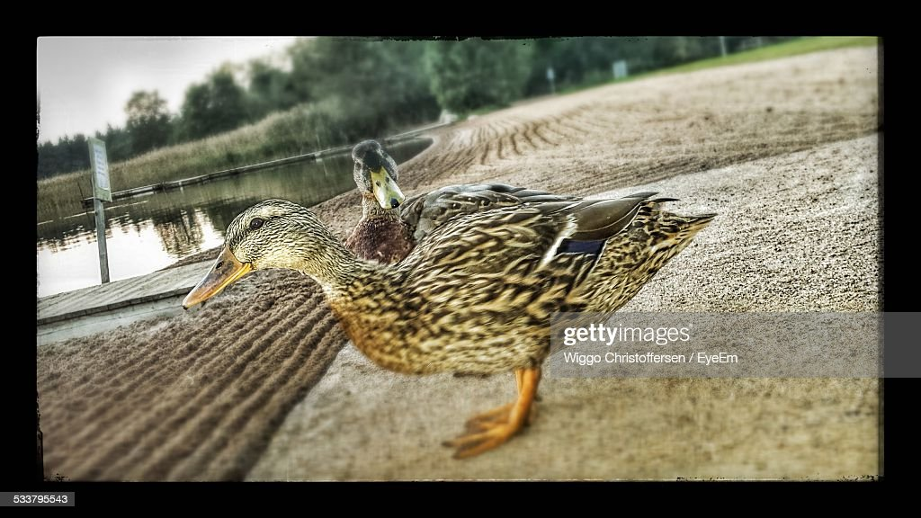 Ducks By Water : Foto stock