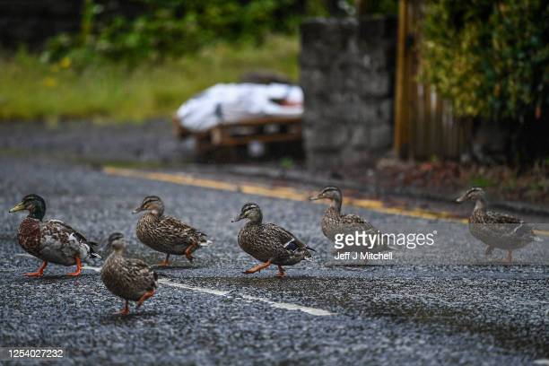 Ducks cross a road in Balmaha on the East side of Loch Lomond on July 3 2020 in Balmaha Scotland The five mile travel limit has been lifted and self...