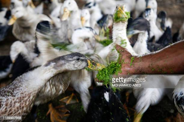 Ducks feed on Azolla aquatic ferns grown in a greenhouse at a Palestinian farm in Beit Lahia in the northern Gaza Strip on August 5 2019 Palestinian...