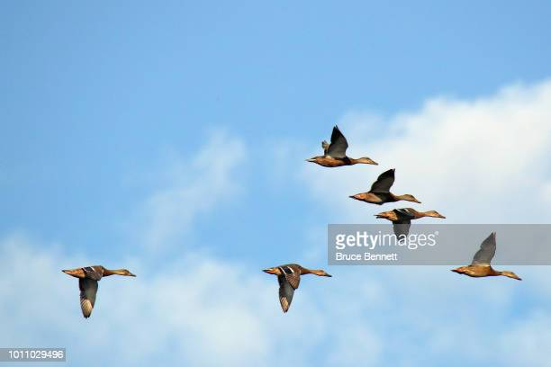 Ducks fly over Mill Pond on August 2 2018 in Centerport New York