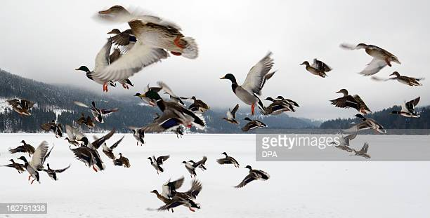 Ducks fly over the frozen Titisee lake in TitiseeNeustadt southern Germany on February 27 2013 AFP PHOTO / PATRICK SEEGER GERMANY OUT