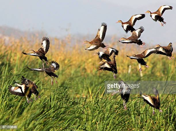 Ducks fly over the wetland February 21, 2010 in the Palo Verde National Park, on the Guanacaste province, 240 north from San Jose, a place that keeps...
