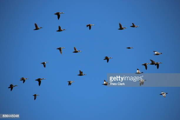 Ducks flying against blue sky