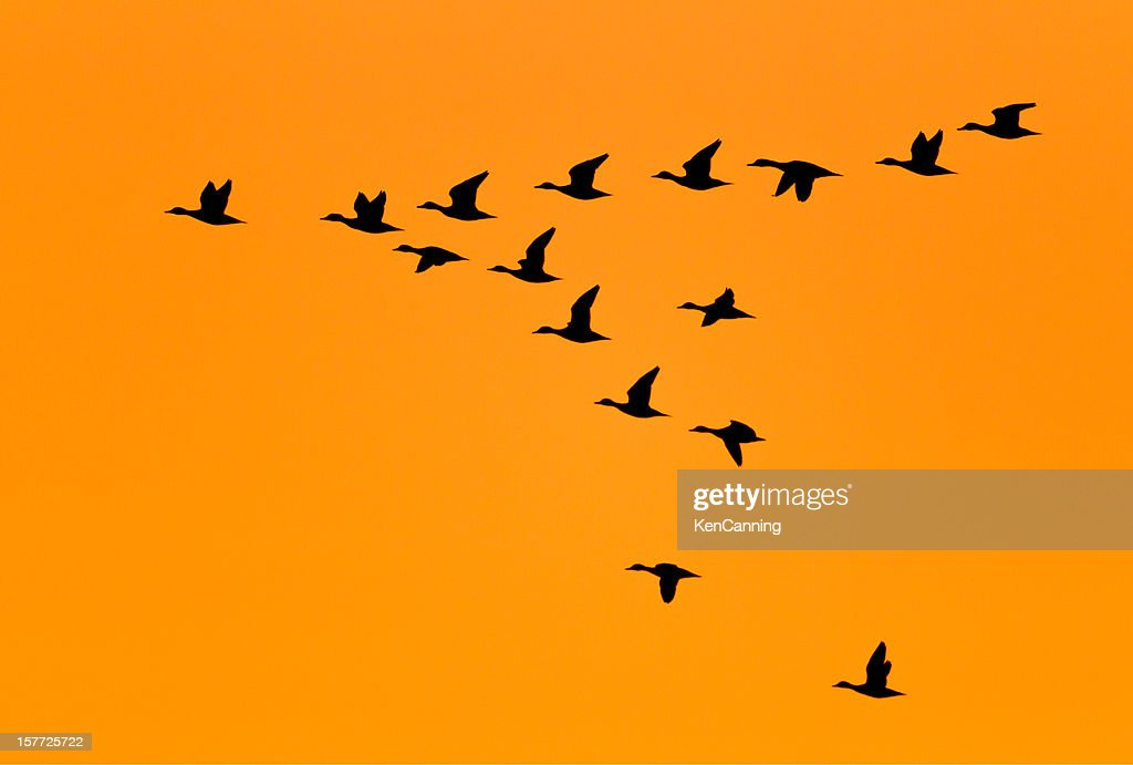 Ducks flying in V Formation at Sunrise : Stock Photo