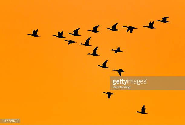 ducks flying in v formation at sunrise - duck bird stock photos and pictures
