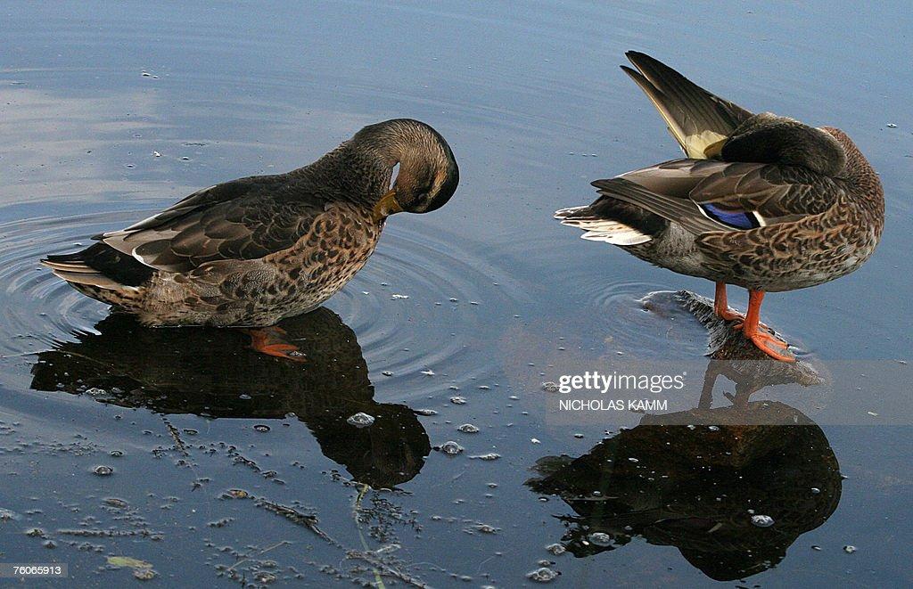 Ducks groom themselves along the banks o : News Photo