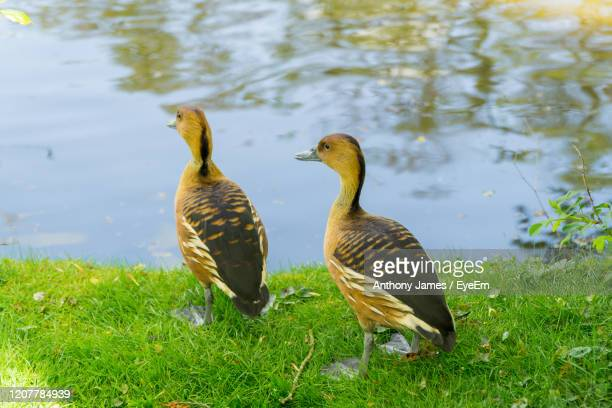 ducks in a lake - northamptonshire stock pictures, royalty-free photos & images
