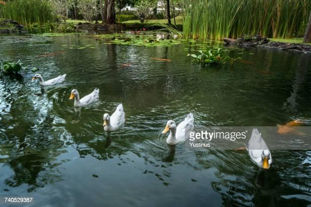 Ducks in a pond, Bali, Indonesia
